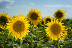 Texas Sunflower Field Stock Photography