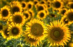 Texas Sunflower Field Stock Photography