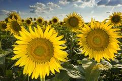 Texas Sunflower Field royalty free stock photos