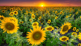 Texas Sunflower Field Stock Image