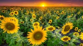 Texas Sunflower Field stock image