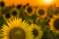 Texas Sunflower Field Stock Photo