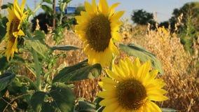 Texas Sunflower Fields stock video