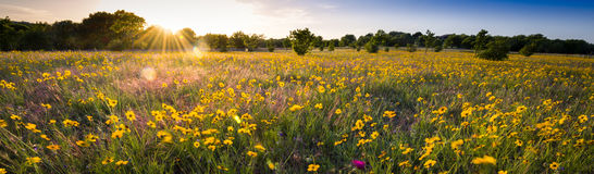 Texas Sunflower Panorama Imagens de Stock Royalty Free