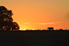 Texas Sunset with dairy cow. Beautiful Texas sunset with a dairy cow walking across the pasture captured in Dublin, TX. pink, yellow, blue, purple sunset stock images