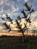 Texas tistel på solnedgången Royaltyfri Foto
