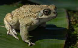 Free Texas Toad On Leaf Royalty Free Stock Photo - 142649315