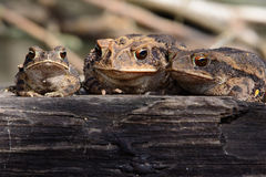 Texas Toad Trio Stock Photos