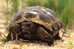 Texas Tortise Head On. A texas tortise slowly moving along toward the camera Stock Photo