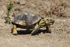 Texas tortoise. A Texas tortoise (Gopherus berlandieri).  This species of tortoise is listed as a threatened species in Texas Stock Photography