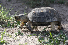 Texas Tortoise Walking Stock Photos
