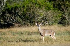 Texas Trophy Whitetailed Deer Buck image libre de droits