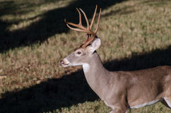 Texas Trophy Whitetailed Deer Buck Stock Photography