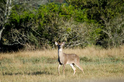 Texas Trophy Whitetailed Deer Buck royalty free stock images