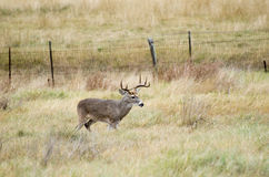Texas Trophy Whitetailed Deer Buck Stock Photos