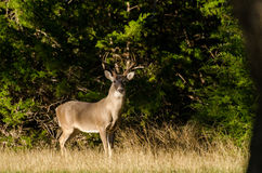 Texas Trophy Whitetailed Deer Buck. Texas Hill Country Whitetailed Deer Buck, eight point antlers trophy buck, Driftwood Texas, south of Austin Royalty Free Stock Images