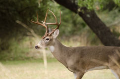 Texas Trophy Whitetailed Deer Buck. Texas Hill Country Whitetailed Deer Buck, eight point antlers trophy buck, Driftwood Texas, south of Austin Stock Photography