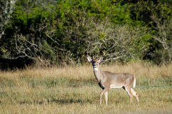Texas Trophy Whitetailed Deer Buck Royalty Free Stock Image