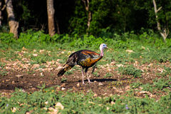 Texas Turkey vibrante che sta Front Right Fotografia Stock Libera da Diritti