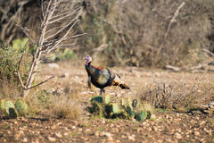 Texas Turkey Walking dietro un cactus Immagine Stock