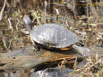 Texas Turtle du sud images stock