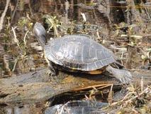 Texas Turtle sul Imagens de Stock