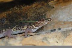 Texas versah Gecko mit einem Band lizenzfreie stockfotografie