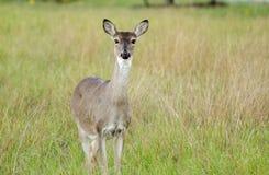 Texas White a coupé la queue la daine de cerfs communs Photographie stock