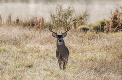 Texas White tailed Deer Trophy Antler Buck Stock Images