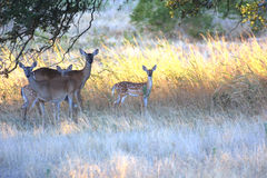 Texas Whitetail Deer. A family of Texas whitetail deer in a field of Texas Royalty Free Stock Photos