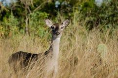 Texas Whitetailed Deer Doe imágenes de archivo libres de regalías
