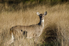 Texas Whitetailed Deer Doe photographie stock