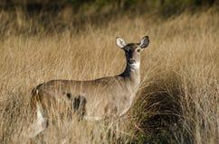 Texas Whitetailed Deer Doe fotografía de archivo