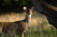 Texas Whitetailed Deer Doe fotografía de archivo libre de regalías