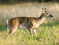 Texas Whitetailed Deer Doe Body Profile Stock Image