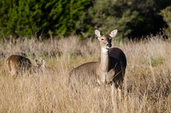 Texas Whitetailed Deer Doe Stock Photo