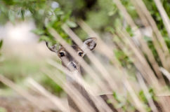 Texas Whitetailed Deer Doe Royalty Free Stock Photo
