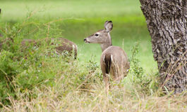 Texas Whitetailed Deer Doe Stock Photos