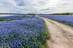 Texas wild bluebonnet filed  in Muleshoe bend near Austin, TX.  Stock Photography