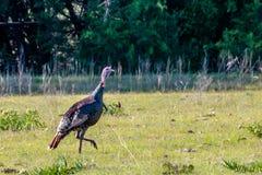 Texas Wild Turkey Walking Across het Weiland royalty-vrije stock afbeeldingen