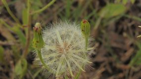 Texas Wild White Dandelion Opened foto de stock