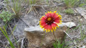 Texas Wildflower alaranjado derrubado amarelo fotografia de stock