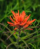 Texas Wildflower alaranjado na primavera imagens de stock royalty free