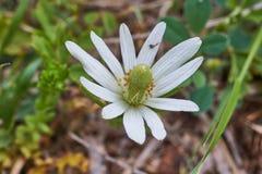 Texas Wildflower, Anemoonberlandieri, Tenpetal-Anemoon, Tenpetal Thimbleweed, Windflower, Zuidelijke Anemoon, Oma stock afbeeldingen