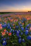 Texas wildflower - bluebonnet en Indisch penseelgebied in zonsondergang Stock Afbeelding