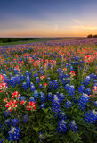 Texas wildflower -  bluebonnet and indian paintbrush field in sunset Stock Image