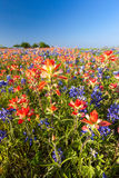 Texas wildflower -  bluebonnet and indian paintbrush filed Royalty Free Stock Photo