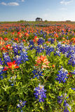 Texas wildflower -  bluebonnet and indian paintbrush filed Stock Image