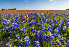 Texas wildflower -  bluebonnet and indian paintbrush filed Stock Images