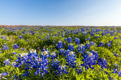 Texas wildflower -  bluebonnet and indian paintbrush filed in spring Royalty Free Stock Photo